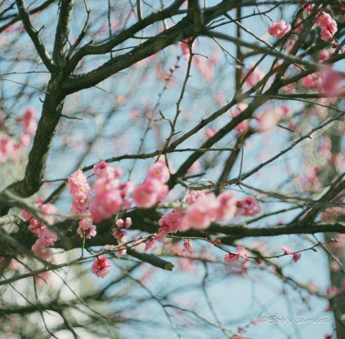梅の花_b0246079_05115339.jpg