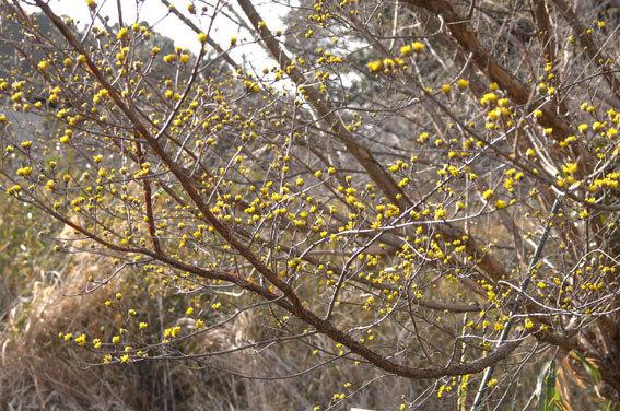 黄色いツボミがたくさん_b0145296_22015428.jpg