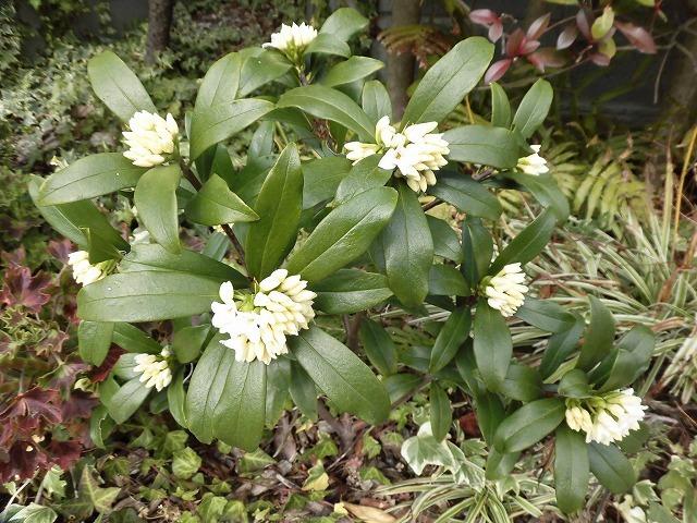 ジンチョウゲ、フキノトウ、スナップエンドウ等 草が伸びた我が家の庭や畑は、知らぬ間にすっかり春の気配に_f0141310_07260684.jpg