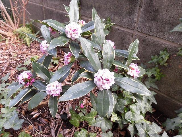 ジンチョウゲ、フキノトウ、スナップエンドウ等 草が伸びた我が家の庭や畑は、知らぬ間にすっかり春の気配に_f0141310_07264495.jpg