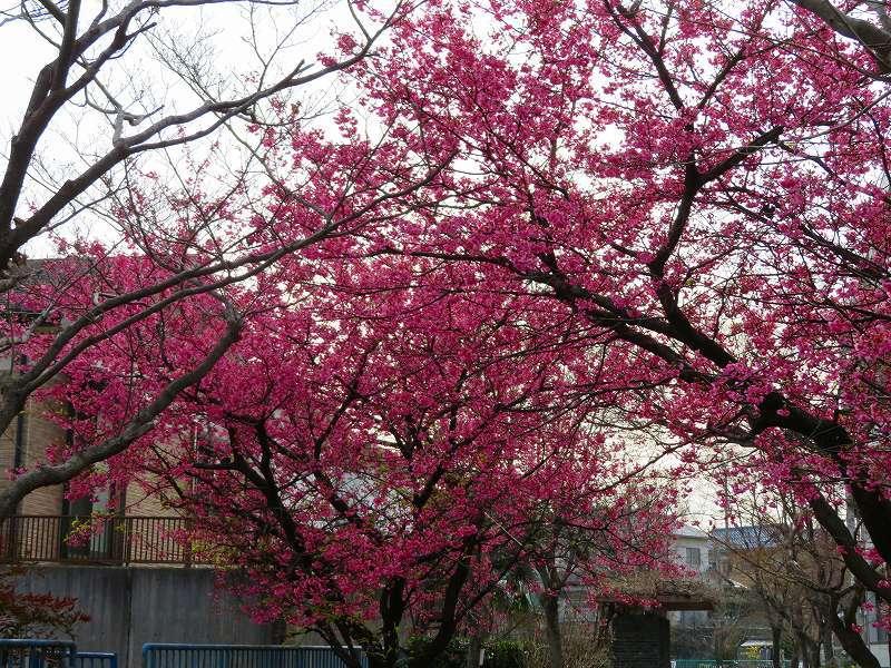 京都淀の「河津桜」20190225_e0237645_23044316.jpg