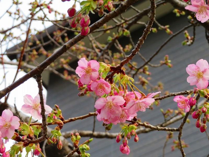 京都淀の「河津桜」20190225_e0237645_23044453.jpg