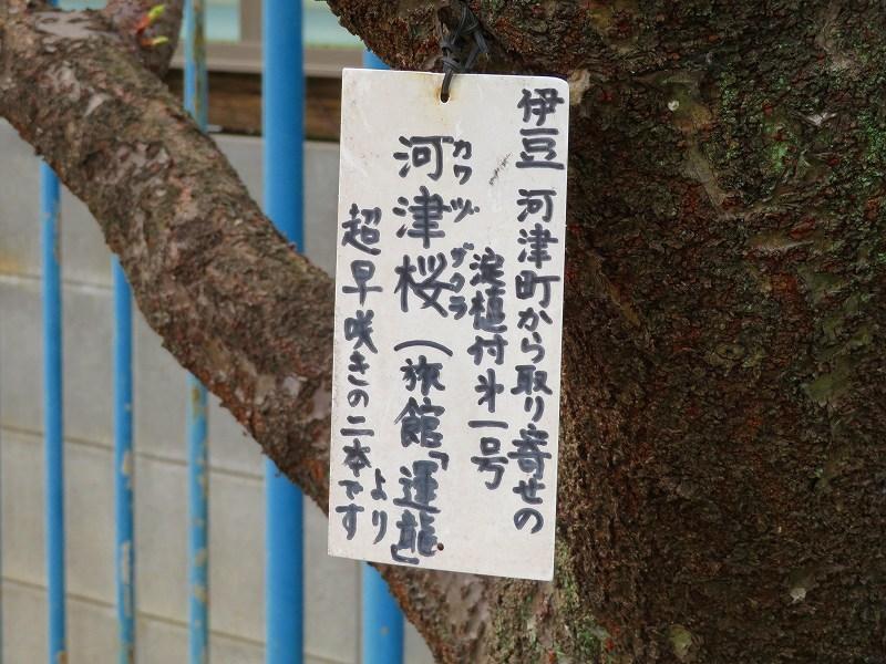 京都淀の「河津桜」20190225_e0237645_23044454.jpg