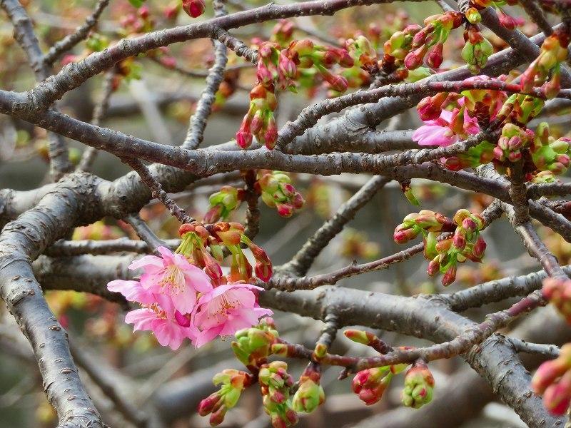 京都淀の「河津桜」20190225_e0237645_23044456.jpg