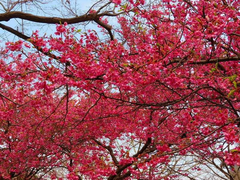 京都淀の「河津桜」20190225_e0237645_23044499.jpg