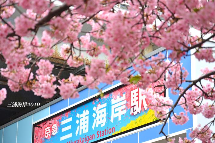 まつり 三浦 海岸 桜