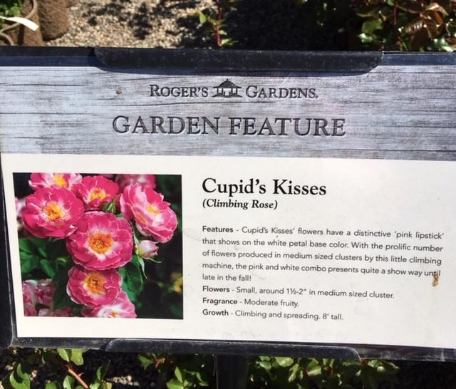 Roger\'s Gardens の薔薇の半額セール_e0350971_12142738.jpg