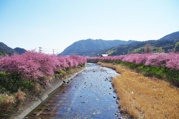 桜物語 2019 春 その1 河津桜_d0016587_17413396.jpg