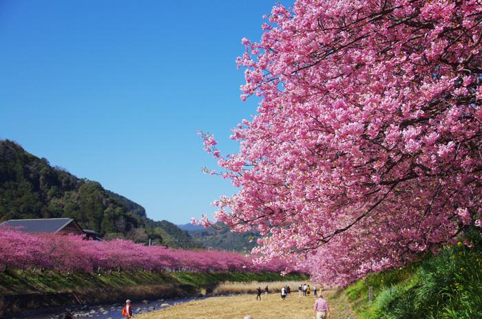 桜物語 2019 春 その1 河津桜_d0016587_17535010.jpg