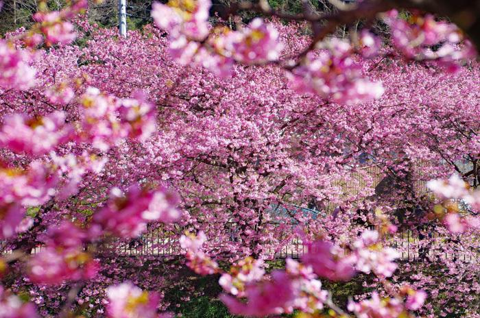 桜物語 2019 春 その1 河津桜_d0016587_17581641.jpg