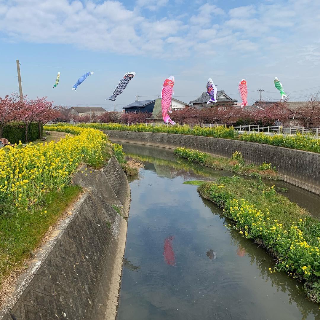 免々田川沿い・・・河津さくらと菜の花_b0151724_17055698.jpg