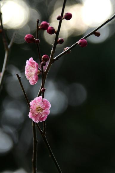 樹木公園・梅(1)_c0093046_19030260.jpg