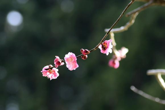 樹木公園・梅(1)_c0093046_19034833.jpg