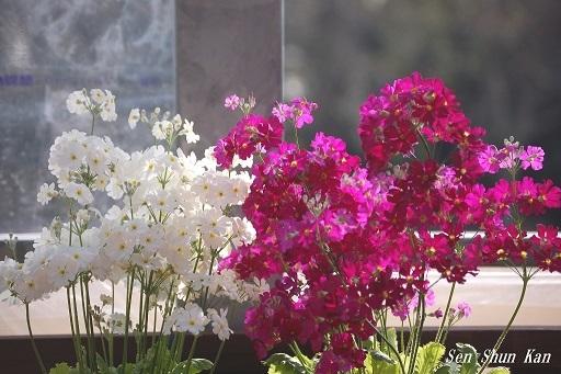 早春の草花展 2019年2月25日 (その2)_a0164068_14443318.jpg