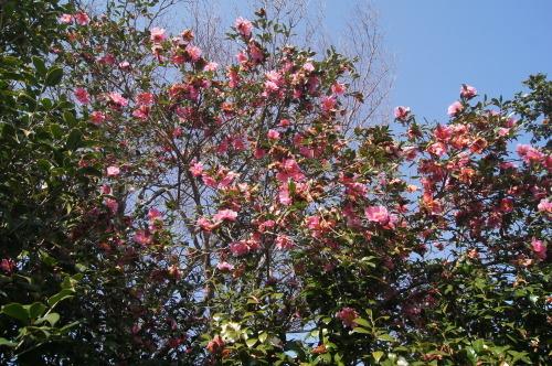 椿泊の椿自然園_e0181373_20592666.jpg
