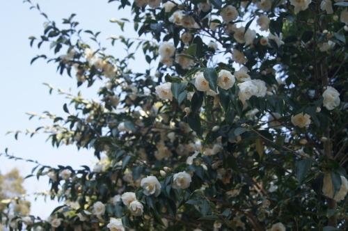 椿泊の椿自然園_e0181373_20594461.jpg