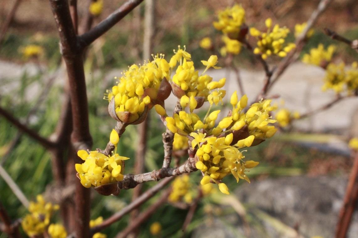 サンシュユの黄色い小さな花_a0107574_15264665.jpg