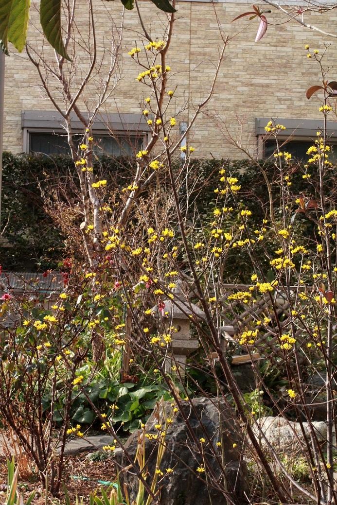 サンシュユの黄色い小さな花_a0107574_15265554.jpg