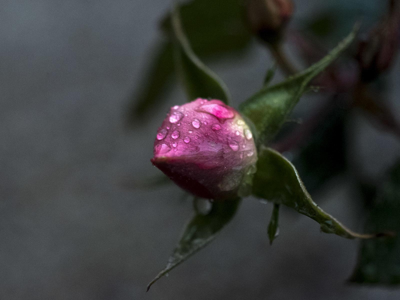 RICOH GXR A12 50mm F2.5 MACROで撮った花の写真(3)_e0367501_17241700.jpg