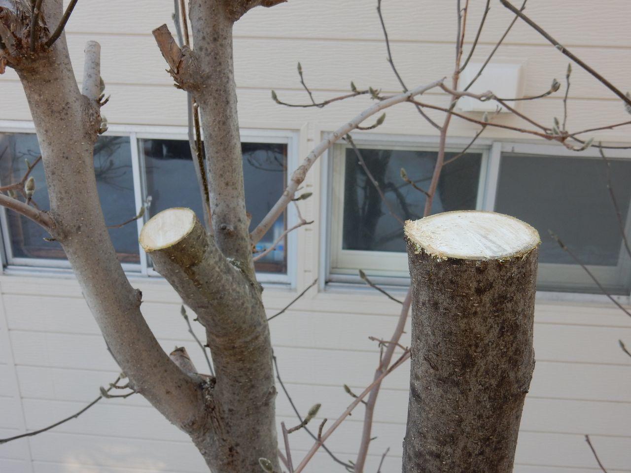 雪の深いうちにモクレンの太い枝を剪定する_c0025115_21540993.jpg
