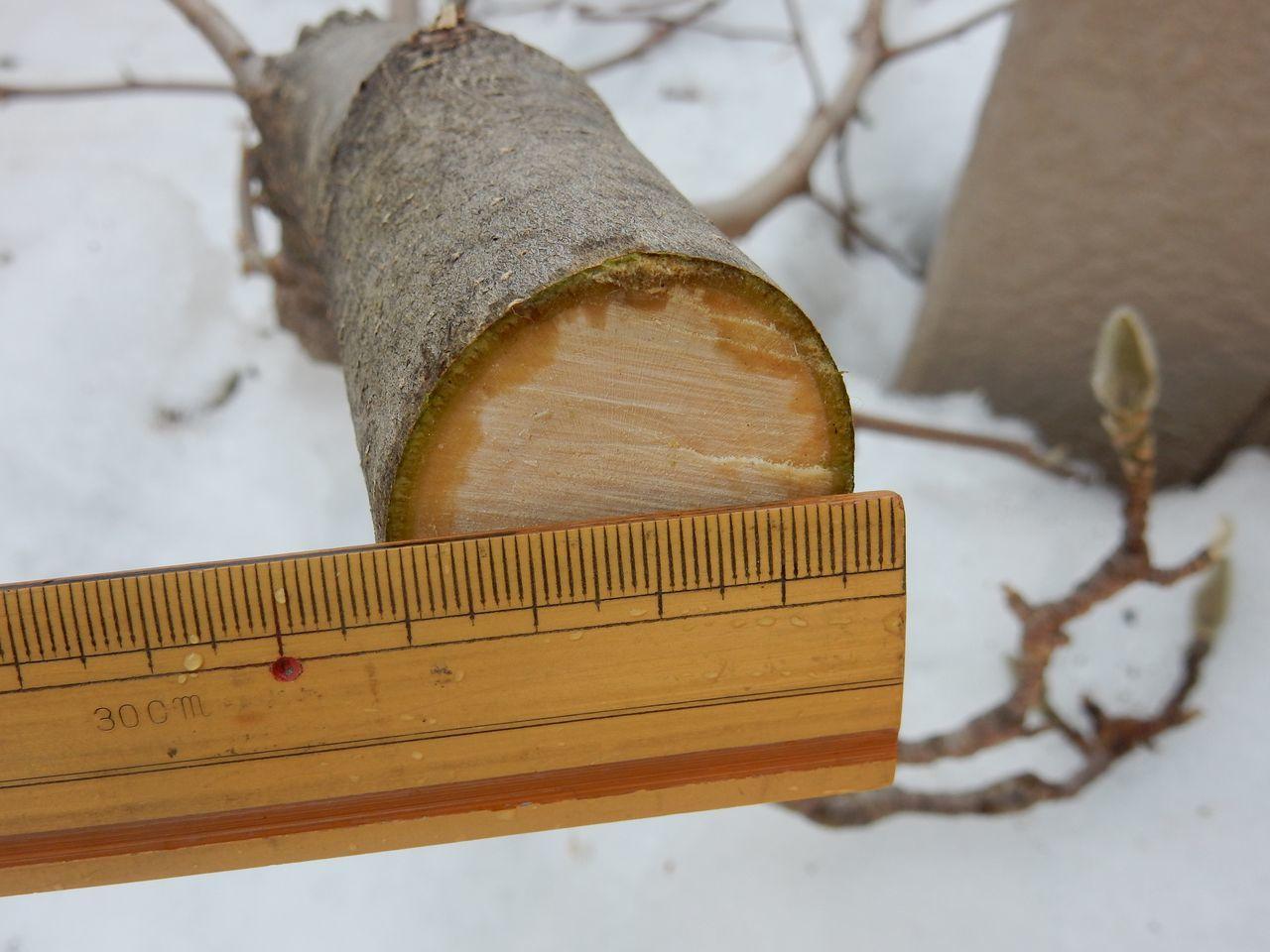 雪の深いうちにモクレンの太い枝を剪定する_c0025115_21582716.jpg