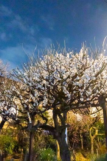 Tree    ・・・梅は咲いたか・・・_f0333031_06064100.jpg
