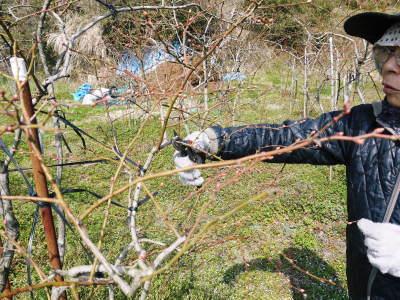 無農薬栽培のフレッシュブルーベリー 冬の様子 後編:大きくて甘い実を育てるための匠の冬の剪定_a0254656_16560099.jpg