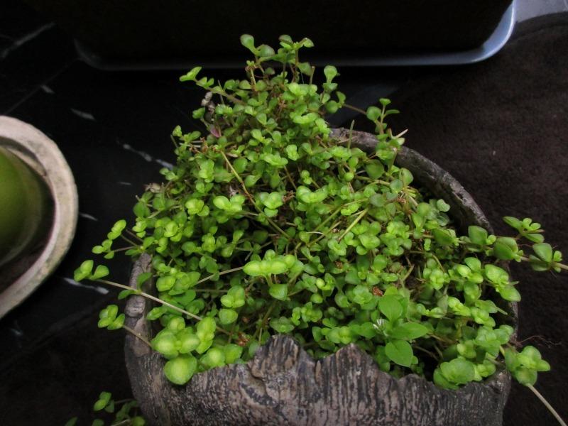 植物「生育旺盛な謎の植物」_b0362459_11442093.jpg