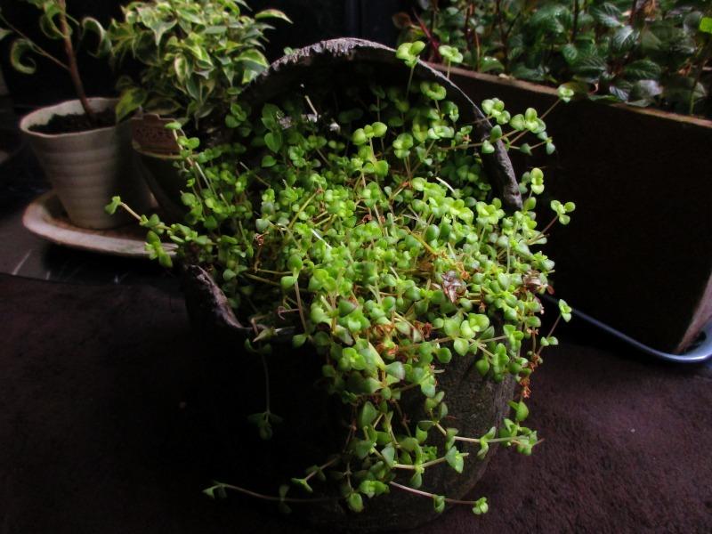 植物「生育旺盛な謎の植物」_b0362459_11501405.jpg