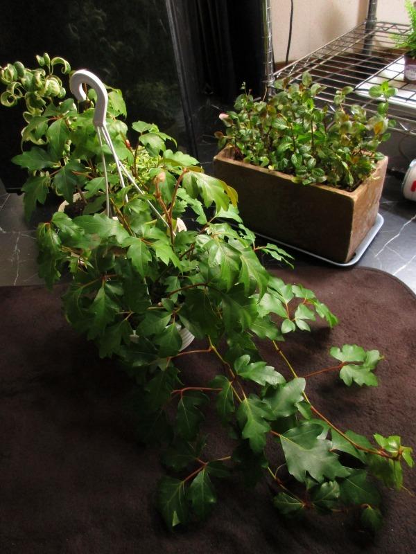 植物「生育旺盛な謎の植物」_b0362459_11522471.jpg