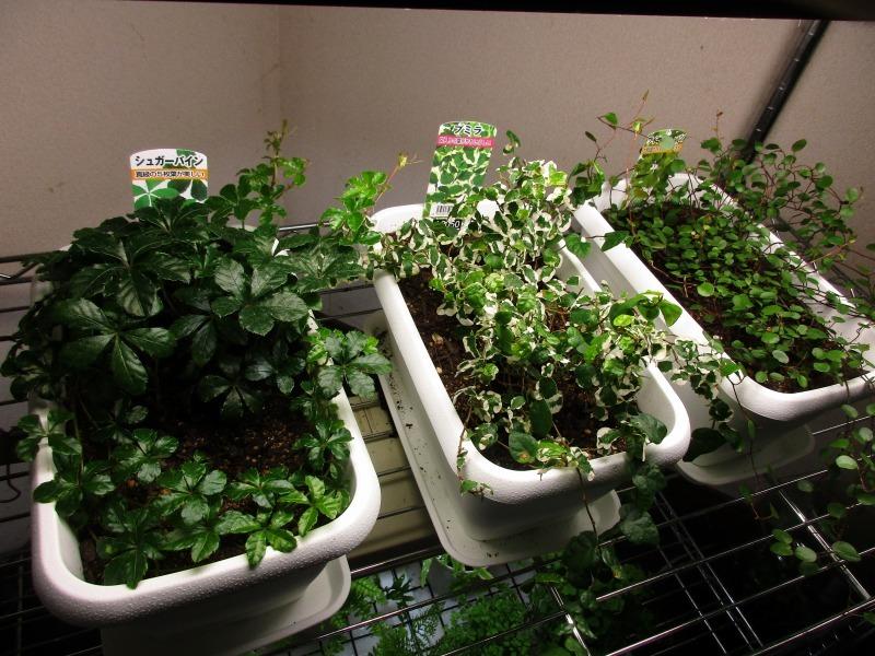 植物「生育旺盛な謎の植物」_b0362459_12023955.jpg
