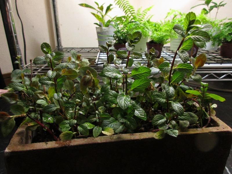 植物「生育旺盛な謎の植物」_b0362459_12094229.jpg
