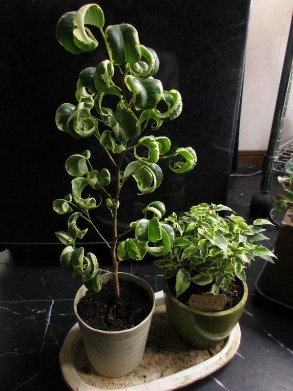植物「生育旺盛な謎の植物」_b0362459_12545748.jpg