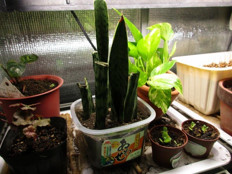 植物「生育旺盛な謎の植物」_b0362459_13291925.jpg