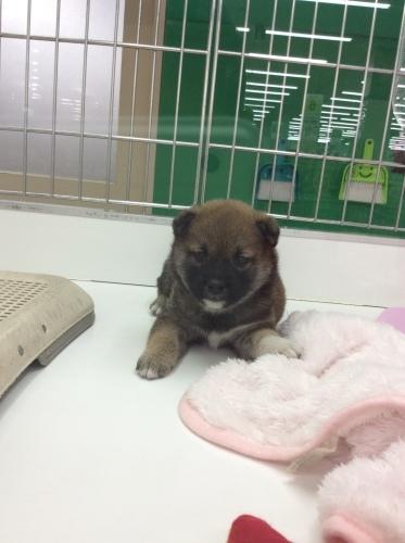 New Face 柴犬_d0389067_15202606.jpeg