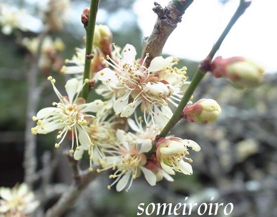 鎌倉 瑞泉寺の黄梅。_e0086881_22402205.jpg