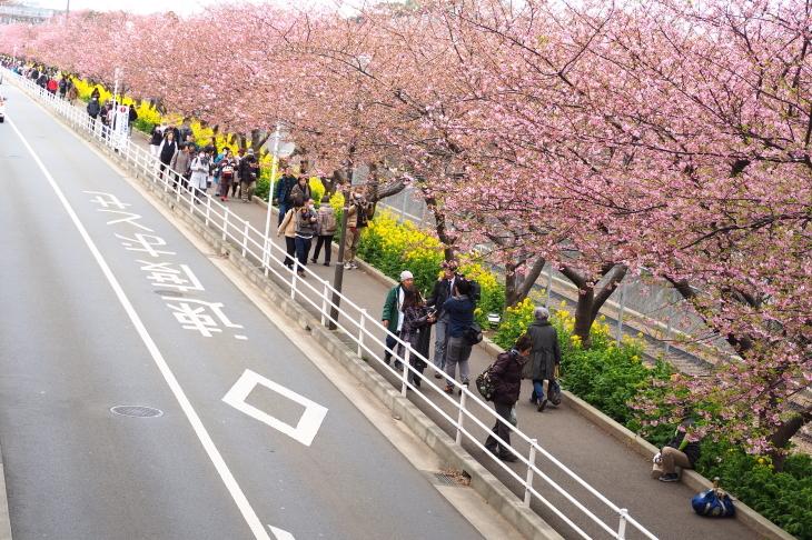 三浦海岸桜まつり_e0305388_20550076.jpg