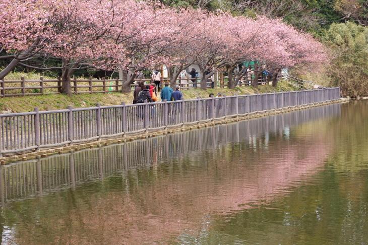 三浦海岸桜まつり_e0305388_20553863.jpg