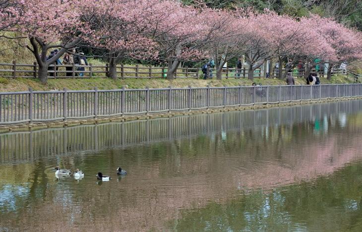 三浦海岸桜まつり_e0305388_20555031.jpg