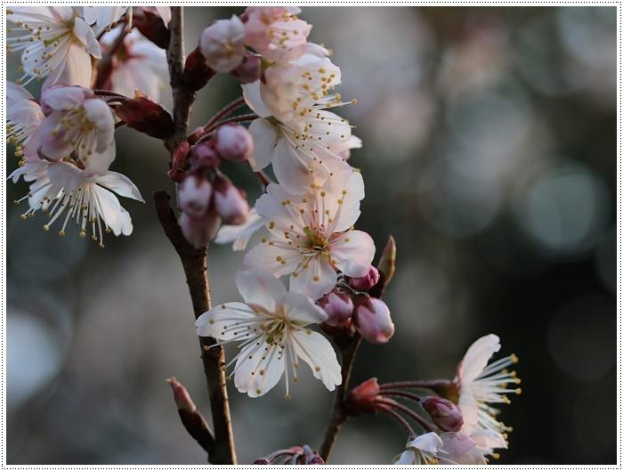 ブログネタがない時は、無理やりさくらと大をモデルにしたり、花にカメラを向けたり( *´艸`)クスクス_b0175688_20381895.jpg