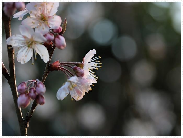 ブログネタがない時は、無理やりさくらと大をモデルにしたり、花にカメラを向けたり( *´艸`)クスクス_b0175688_20382115.jpg