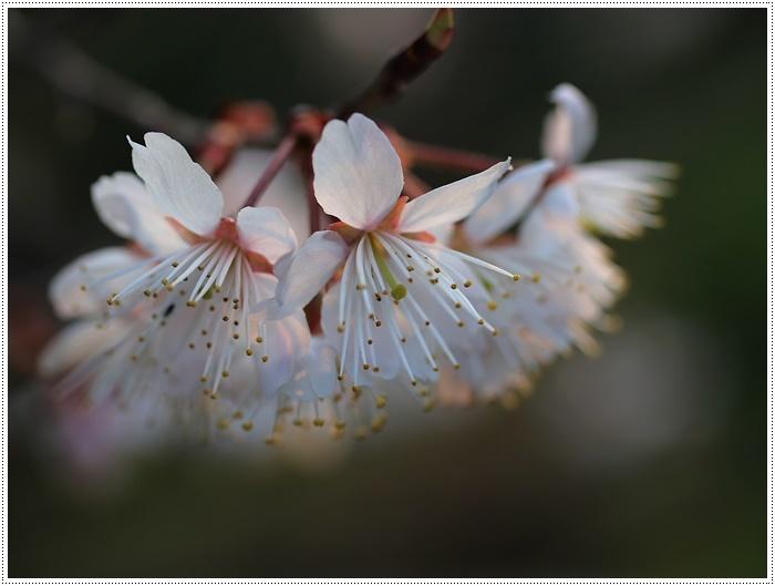 ブログネタがない時は、無理やりさくらと大をモデルにしたり、花にカメラを向けたり( *´艸`)クスクス_b0175688_20382551.jpg