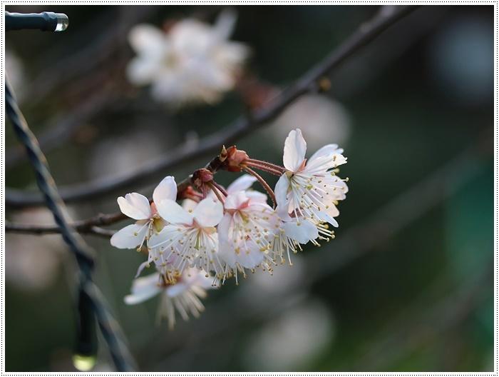ブログネタがない時は、無理やりさくらと大をモデルにしたり、花にカメラを向けたり( *´艸`)クスクス_b0175688_20383367.jpg