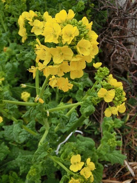 小さな春を探す、道端に咲き始めた可愛い菜の花に逢いました、菜の花は春の訪れを告げていました。阪急電車と菜の花_d0181492_23114261.jpg