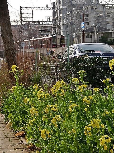 小さな春を探す、道端に咲き始めた可愛い菜の花に逢いました、菜の花は春の訪れを告げていました。阪急電車と菜の花_d0181492_23121306.jpg