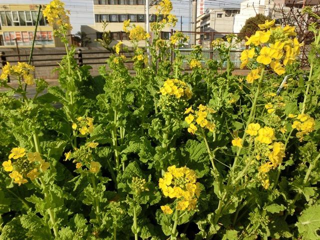 小さな春を探す、道端に咲き始めた可愛い菜の花に逢いました、菜の花は春の訪れを告げていました。阪急電車と菜の花_d0181492_23123641.jpg