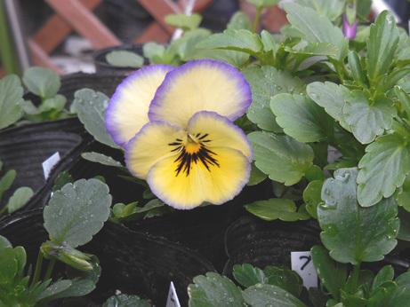 自家採種、種まきビオラ・パンジー 2番花_d0020309_19050321.jpg