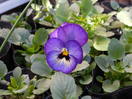 種まきビオラ・パンジーの一番花が咲きました_d0020309_19102397.jpg