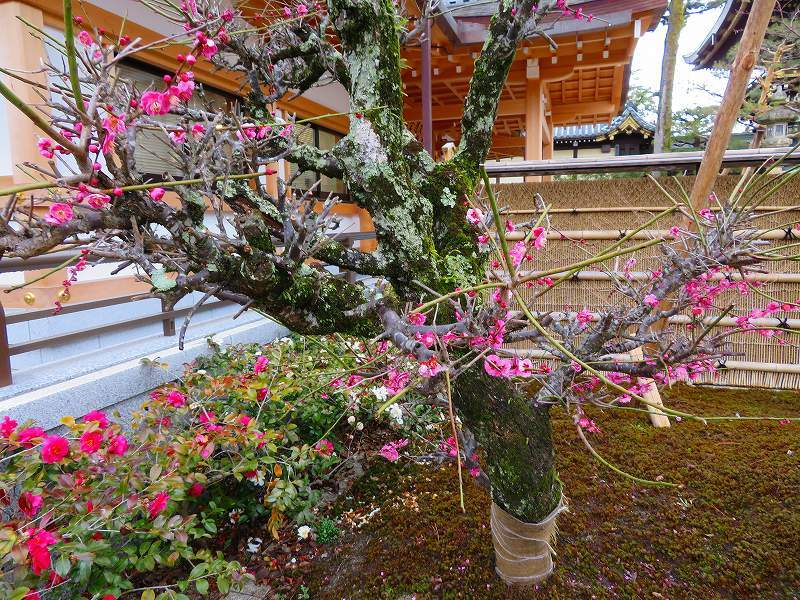 東風吹かば~「北野天満宮」の梅の花20190228_e0237645_11202206.jpg