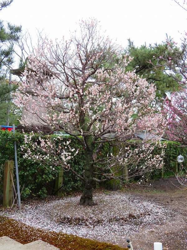 東風吹かば~「北野天満宮」の梅の花20190228_e0237645_11202208.jpg
